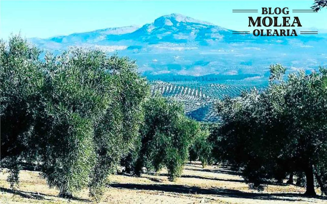 Tipos de olivar en el aceite de oliva y procesos de elaboración.