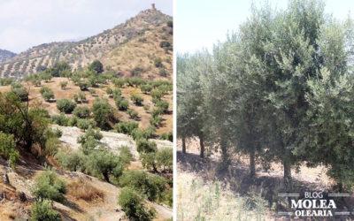 Diferencias entre olivar tradicional y olivar en seto (u olivar superintensivo)