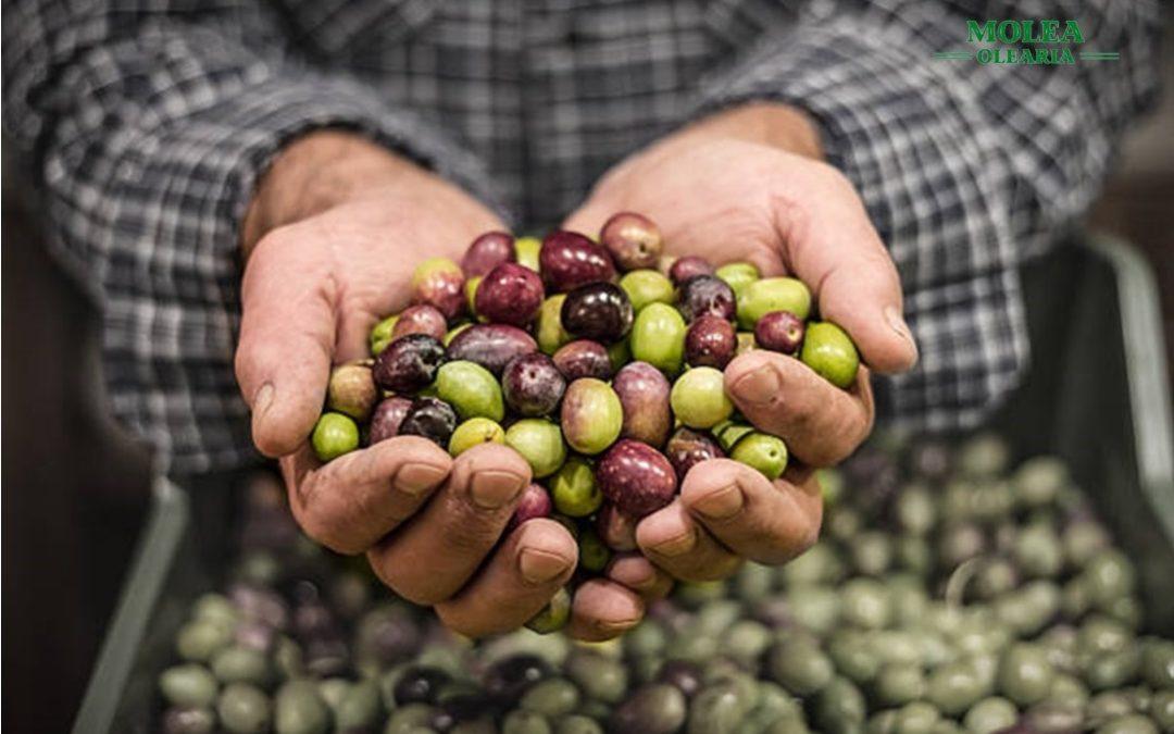 El alza del precio del aceite de oliva